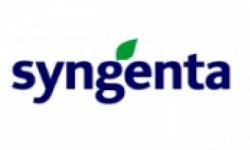 Syngenta Tatlı Mısır Tohumu Çeşitleri