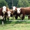braford ineği