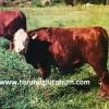 beefalo sığır ırkı