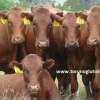 Bonsmara sığır cinsi