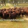 Bonsmara sığır ırkı