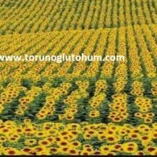 çerezlik ayçiçeği tohumu fiyatları