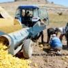 kabak çekirdeği hasat zamanı