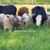 sığır türleri ve süt verimleri