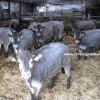 bazadaise sığır ırkı özellikleri