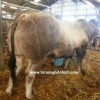 bazadaise sığırı yetiştiriciliği