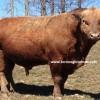 beefalo sığır yetiştiriciliği
