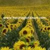 hibrit ayçiçeği tohumu fiyatları