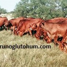 Beefmaster Sığır Cinsi