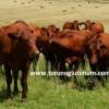 Bonsmara sığırı et randumanı