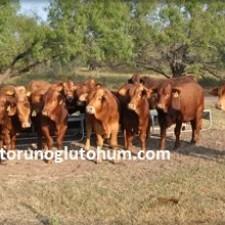 Beefmaster Sığır Yetiştiriciliği