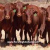 Bonsmara sığırı ithalatı