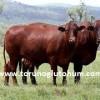 Sığır cinsleri ve süt verimleri