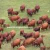 Bonsmara sığır türü