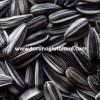 hibrit ayçiçeği tohumu üretimi