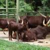 ankole sığır yetiştiriciliği
