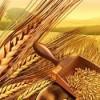 Buğday ithalatı için gümrük vergisi sıfırlanacak!