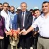 Adana'da Damızlık Koç Dağıtımı Yapıldı