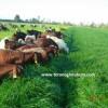 Ryegrass Otu Tohumu Fiyatı