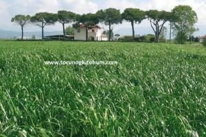 Ryegrass Yetiştiriciliği