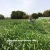 Ryegrass Otu Tohumu Fiyatları