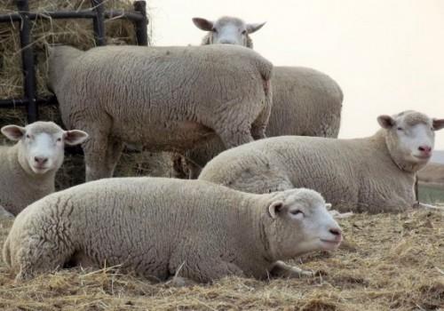 İle De France Koyun Irkı