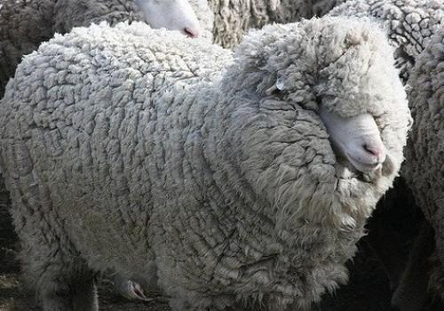 Polwarth Koyun Irkı