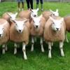 Texel Koyun Irkı