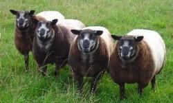 Blue Texel Koyun ırkı