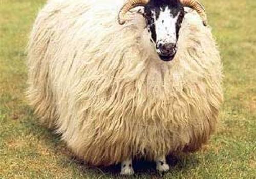 Rough Fell Koyun Irkı