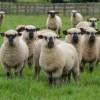 Shropshire Koyun Irkı