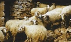 Skopelos Koyun Irkı