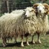 Skudde Koyun Irkı