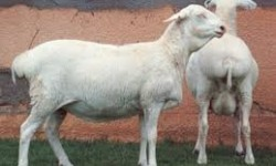 Van Rooy Koyun Irkı