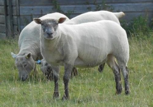 Wendeen Koyun Irkı