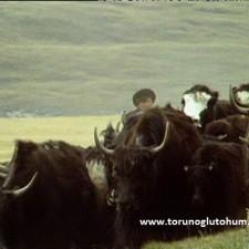 yak sığır ırkı