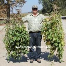 slajlık soya fasulyesi