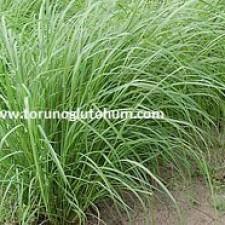Ot Tipi Teff Grass