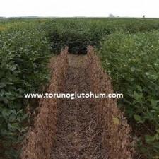 slajlık soya fasulyesi tohumu fiyatı
