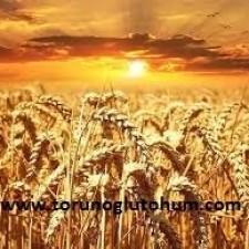 satılık buğday tohumu
