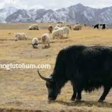 yak sığır ırkı yetiştiriciliği