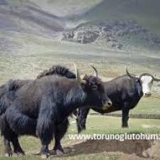 tibet öküzü