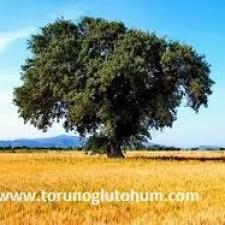 buğday tohumu faydaları