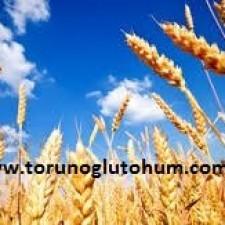 buğday tohumu fiyatları