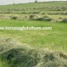 Ot Tipi Teff Grass kuru ot hasadı