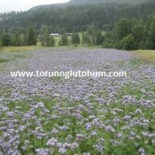 Arı otu(faselya) tarımı