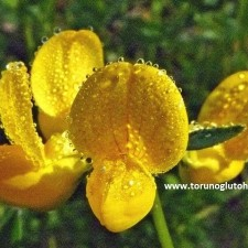 lotus corniculatus-gazal boynuzu
