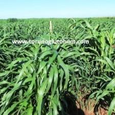 millet yem bitkisi tohum fiyatları