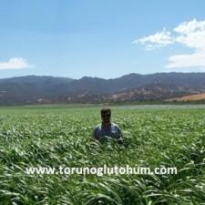sorgum sudan otu tohumu fiyatları
