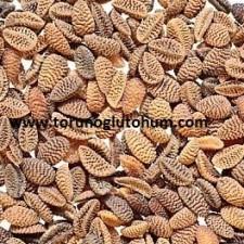 satılık arı otu tohumu